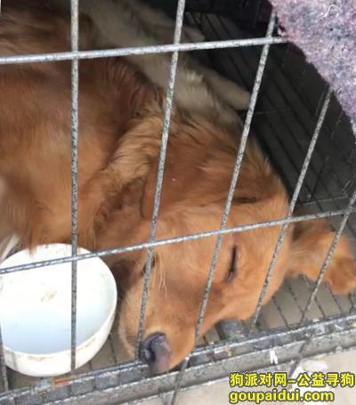 ,济宁金乡县王丕金沪酒店附近丢失金毛,它是一只非常可爱的宠物狗狗,希望它早日回家,不要变成流浪狗。