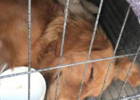 寻狗启示,济宁金乡县王丕金沪酒店附近丢失金毛,它是一只非常可爱的宠物狗狗,希望它早日回家,不要变成流浪狗。