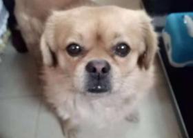 寻狗启示,求爱心群众帮忙,必有重谢。谢谢你们,它是一只非常可爱的宠物狗狗,希望它早日回家,不要变成流浪狗。