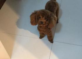 寻狗启示,寻找狗主人。我在兰山区北园路附近捡到泰迪一只,它是一只非常可爱的宠物狗狗,希望它早日回家,不要变成流浪狗。