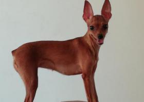 寻找棕色小鹿犬,有好心人看到望告知