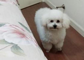 寻狗启示,一只七个月大比熊犬在淮海东路 靠近万达附近走丢 七八个月九斤,它是一只非常可爱的宠物狗狗,希望它早日回家,不要变成流浪狗。
