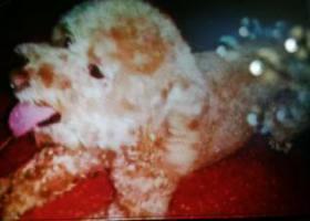 寻狗启示,狗狗丢失十分想念!!!!,它是一只非常可爱的宠物狗狗,希望它早日回家,不要变成流浪狗。