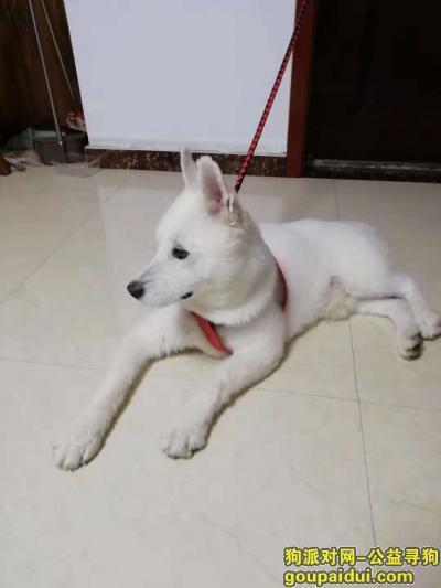 临沂寻狗主人,捡到疑似萨摩一只(本人对狗不太了解)白色,剃毛,公狗。,它是一只非常可爱的宠物狗狗,希望它早日回家,不要变成流浪狗。