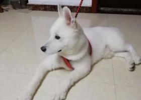 寻狗启示,捡到疑似萨摩一只(本人对狗不太了解)白色,剃毛,公狗。,它是一只非常可爱的宠物狗狗,希望它早日回家,不要变成流浪狗。