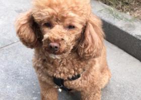 寻狗启示,11月22日晚上7点左右在亚都大厦附近走丢泰迪一只,它是一只非常可爱的宠物狗狗,希望它早日回家,不要变成流浪狗。