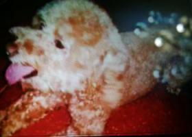 寻狗启示,一只泰迪狗,它是一只非常可爱的宠物狗狗,希望它早日回家,不要变成流浪狗。