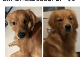 寻狗启示,北京海淀区宝盛里黑泉路金毛丢失,它是一只非常可爱的宠物狗狗,希望它早日回家,不要变成流浪狗。
