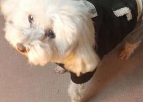 寻狗启示,白色比熊狗不吃不喝找主人,它是一只非常可爱的宠物狗狗,希望它早日回家,不要变成流浪狗。