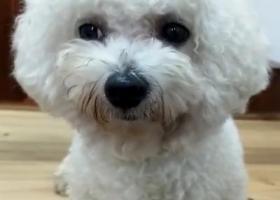 寻狗启示,急急急,春晓苑捡到一只比熊犬!!!18759180833,它是一只非常可爱的宠物狗狗,希望它早日回家,不要变成流浪狗。