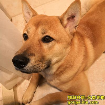 ,六个月大柴犬,今日上午十一点左右在越海附近走丢,它是一只非常可爱的宠物狗狗,希望它早日回家,不要变成流浪狗。