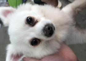 寻狗启示,前埔南区寻找一只5岁白色短毛的博美,它是一只非常可爱的宠物狗狗,希望它早日回家,不要变成流浪狗。