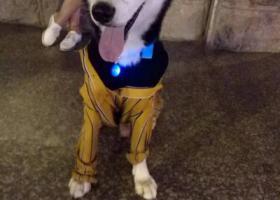 寻狗启示,寻找哈士奇,如有知情者提供线索必有重谢,它是一只非常可爱的宠物狗狗,希望它早日回家,不要变成流浪狗。
