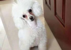 寻狗启示,找狗找狗找狗 贵宾  邯郸 !!!!?,它是一只非常可爱的宠物狗狗,希望它早日回家,不要变成流浪狗。
