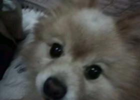 寻狗启示,丢失老年博美犬一只,狗头中间有一簇白毛 ,狗狗名叫宝宝,它是一只非常可爱的宠物狗狗,希望它早日回家,不要变成流浪狗。