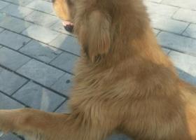 寻狗启示,捡到金毛一只,耳朵有毛病,找主人,它是一只非常可爱的宠物狗狗,希望它早日回家,不要变成流浪狗。