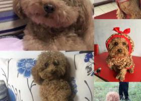 寻狗启示,酬金2000寻狗,公狗,四岁,叫肉丸儿,它是一只非常可爱的宠物狗狗,希望它早日回家,不要变成流浪狗。