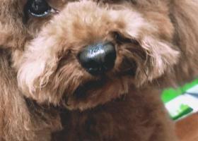 寻狗启示,浦东新区上钢街道德州四村西营路出口遗失泰迪一只,它是一只非常可爱的宠物狗狗,希望它早日回家,不要变成流浪狗。