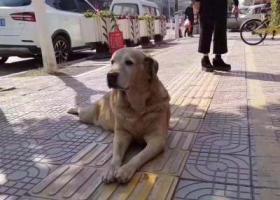 寻狗启示,丹霞路 老金毛 应该是走丢了,它是一只非常可爱的宠物狗狗,希望它早日回家,不要变成流浪狗。