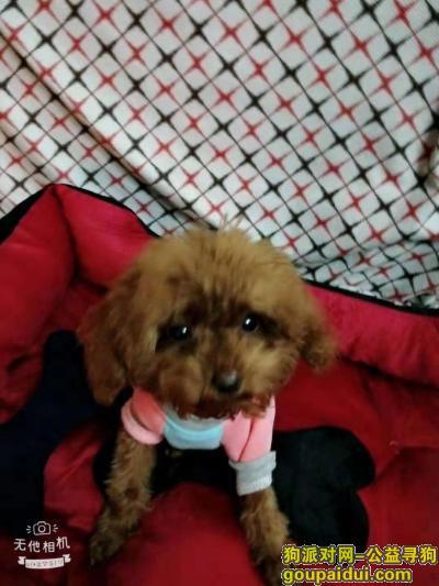 德州寻狗,元宝小型泰迪走失寻找,它是一只非常可爱的宠物狗狗,希望它早日回家,不要变成流浪狗。