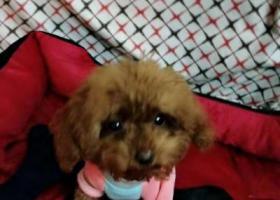 寻狗启示,元宝小型泰迪走失寻找,它是一只非常可爱的宠物狗狗,希望它早日回家,不要变成流浪狗。