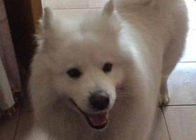寻狗启示,萨摩耶丢失,请大家帮忙寻找,它是一只非常可爱的宠物狗狗,希望它早日回家,不要变成流浪狗。