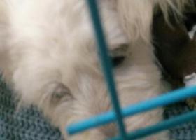 寻狗启示,寻找小土狗生了病求大家留意一下,它是一只非常可爱的宠物狗狗,希望它早日回家,不要变成流浪狗。