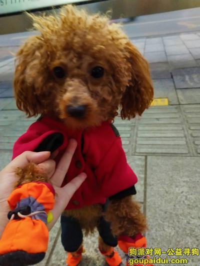 达州寻狗启示,11月27日晚8点丢失香槟泰迪一只,它是一只非常可爱的宠物狗狗,希望它早日回家,不要变成流浪狗。
