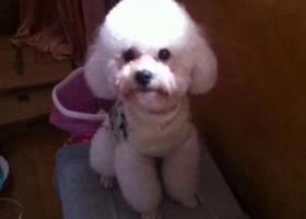 寻狗启示,温州龙港寻狗白色贵宾犬,它是一只非常可爱的宠物狗狗,希望它早日回家,不要变成流浪狗。