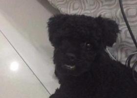 寻狗启示,一只黑色小体泰迪11月28日晚上10点在常德市鼎城区小圆盘走失,它是一只非常可爱的宠物狗狗,希望它早日回家,不要变成流浪狗。