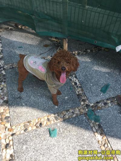 江门找狗主人,捡到一只公泰迪,福泉新村附近,它是一只非常可爱的宠物狗狗,希望它早日回家,不要变成流浪狗。