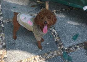 寻狗启示,捡到一只公泰迪,福泉新村附近,它是一只非常可爱的宠物狗狗,希望它早日回家,不要变成流浪狗。