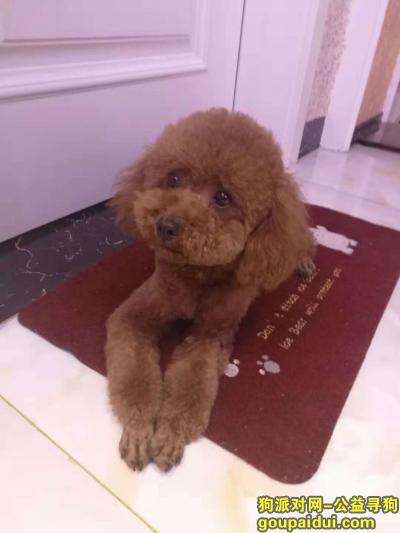 ,济宁市中区寻棕色泰迪 名字糖宝 1500元感谢,它是一只非常可爱的宠物狗狗,希望它早日回家,不要变成流浪狗。