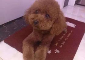 寻狗启示,济宁市中区寻棕色泰迪 名字糖宝 1500元感谢,它是一只非常可爱的宠物狗狗,希望它早日回家,不要变成流浪狗。