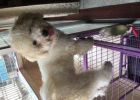 寻狗启示,江门第九中学附近丢失比熊一只,它是一只非常可爱的宠物狗狗,希望它早日回家,不要变成流浪狗。