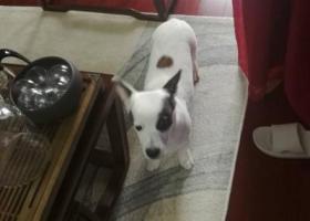 寻狗启示,寻狗启事(元宝,牛头梗串串),它是一只非常可爱的宠物狗狗,希望它早日回家,不要变成流浪狗。