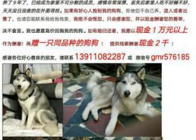 寻狗启示,万元寻找哈士奇!!!,它是一只非常可爱的宠物狗狗,希望它早日回家,不要变成流浪狗。