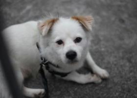 寻狗启示,东莞常新公园附近遗失一只白色串串,它是一只非常可爱的宠物狗狗,希望它早日回家,不要变成流浪狗。