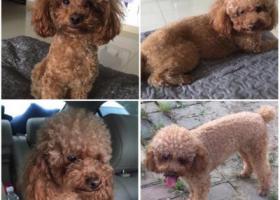 寻狗启示,急寻爱犬:米醋,等你回家!,它是一只非常可爱的宠物狗狗,希望它早日回家,不要变成流浪狗。