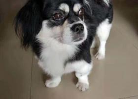 寻狗启示,寻狗!深圳宝安石岩地区酬谢2000元,它是一只非常可爱的宠物狗狗,希望它早日回家,不要变成流浪狗。