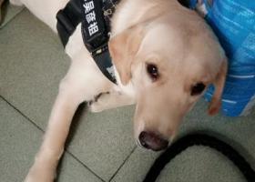 寻狗启示,寻找一只叫崽崽的拉布拉多,它是一只非常可爱的宠物狗狗,希望它早日回家,不要变成流浪狗。