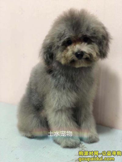 黔西南寻狗网,凯里市中博商业步行街2楼酬谢五千元寻找灰色泰迪,它是一只非常可爱的宠物狗狗,希望它早日回家,不要变成流浪狗。