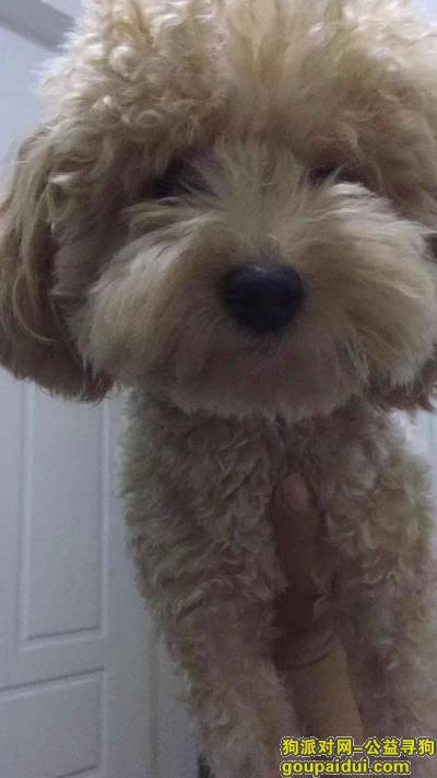 舟山寻狗启示,舟山市定海区东关路寻找泰迪,它是一只非常可爱的宠物狗狗,希望它早日回家,不要变成流浪狗。