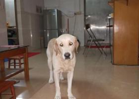 寻狗启示,寻找拉布拉多福特重酬,它是一只非常可爱的宠物狗狗,希望它早日回家,不要变成流浪狗。