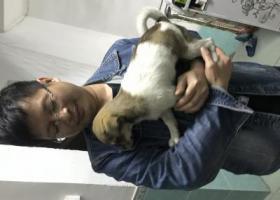 寻狗启示,小狗位于牛仔城不见 请看到后务必跟我联系 重谢,它是一只非常可爱的宠物狗狗,希望它早日回家,不要变成流浪狗。