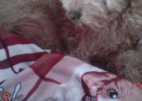 寻狗启示,一只母泰迪于新桥三浃菜市场附近走丢,它是一只非常可爱的宠物狗狗,希望它早日回家,不要变成流浪狗。