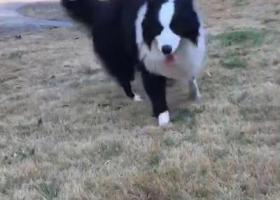寻狗启示,南通平潮刘坝中心路重金寻找边牧,它是一只非常可爱的宠物狗狗,希望它早日回家,不要变成流浪狗。