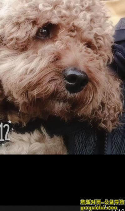 ,德州寻爱犬,泰迪犬,丢失了一个月,它是一只非常可爱的宠物狗狗,希望它早日回家,不要变成流浪狗。