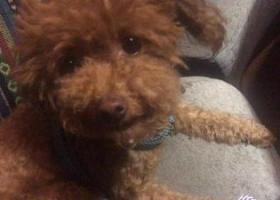 寻狗启示,12月7日世贸东都丢失一条棕色泰迪,1岁,母的,体型胖 重谢2000元!,它是一只非常可爱的宠物狗狗,希望它早日回家,不要变成流浪狗。