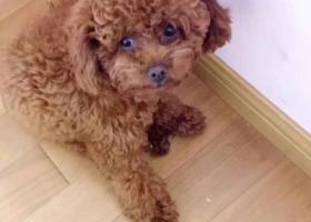 寻狗启示,泰迪犬2018年11月29日走丢,它是一只非常可爱的宠物狗狗,希望它早日回家,不要变成流浪狗。